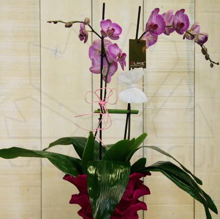 Orquidea_phaleanopsis