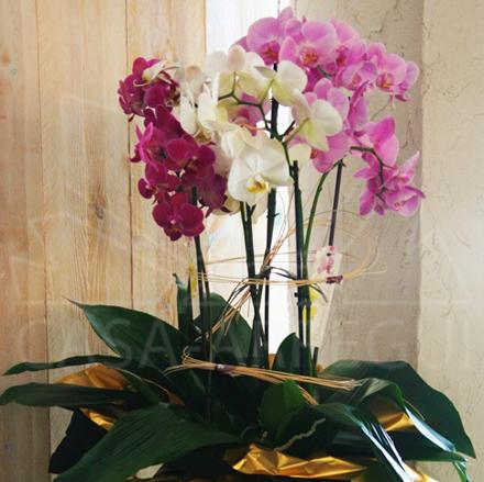 Orquidea_phaleanopsis_premium